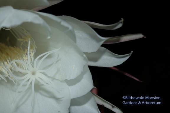Night blooming cereus blithewold night blooming cereus mightylinksfo