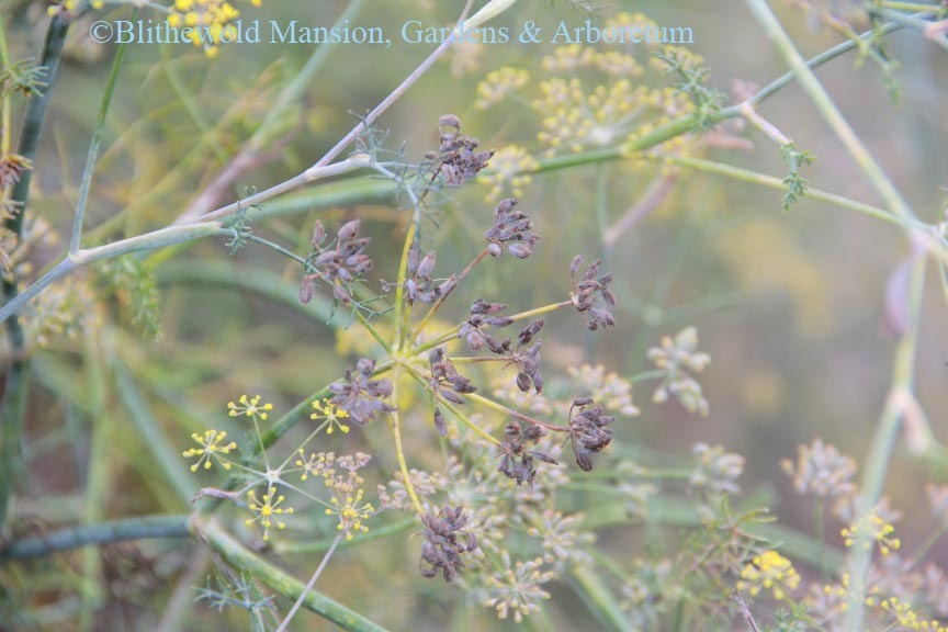 Fennel seeds beginning to form