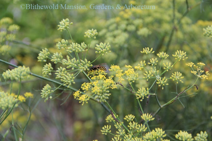 Yellow jacket harvesting pollen from fennel (Foeniculum vulgare)