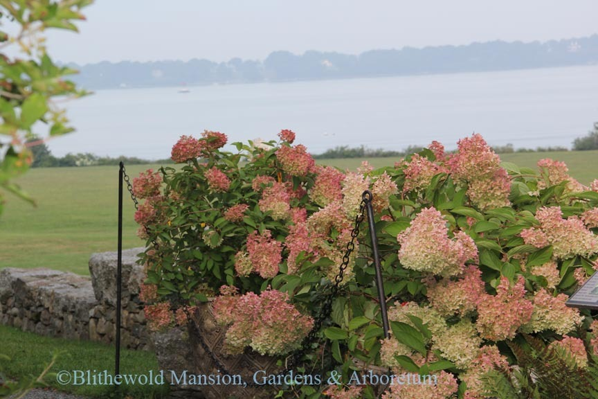 Hydrangeas above the North Garden