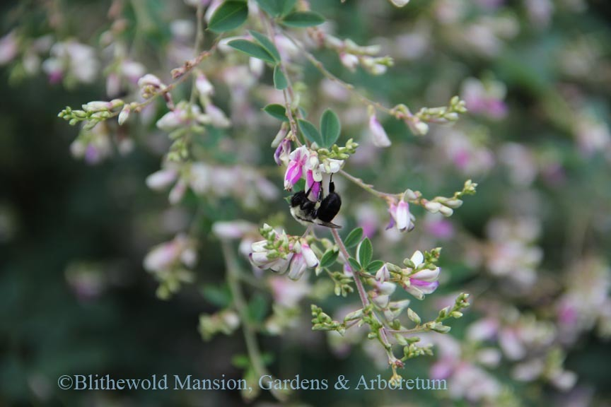 Bumble bee on Lespedeza thunbergii 'Edo Shibori'