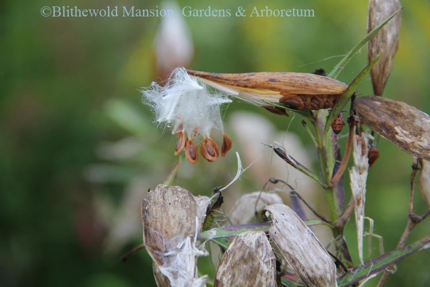 Asclepias releasing its seeds