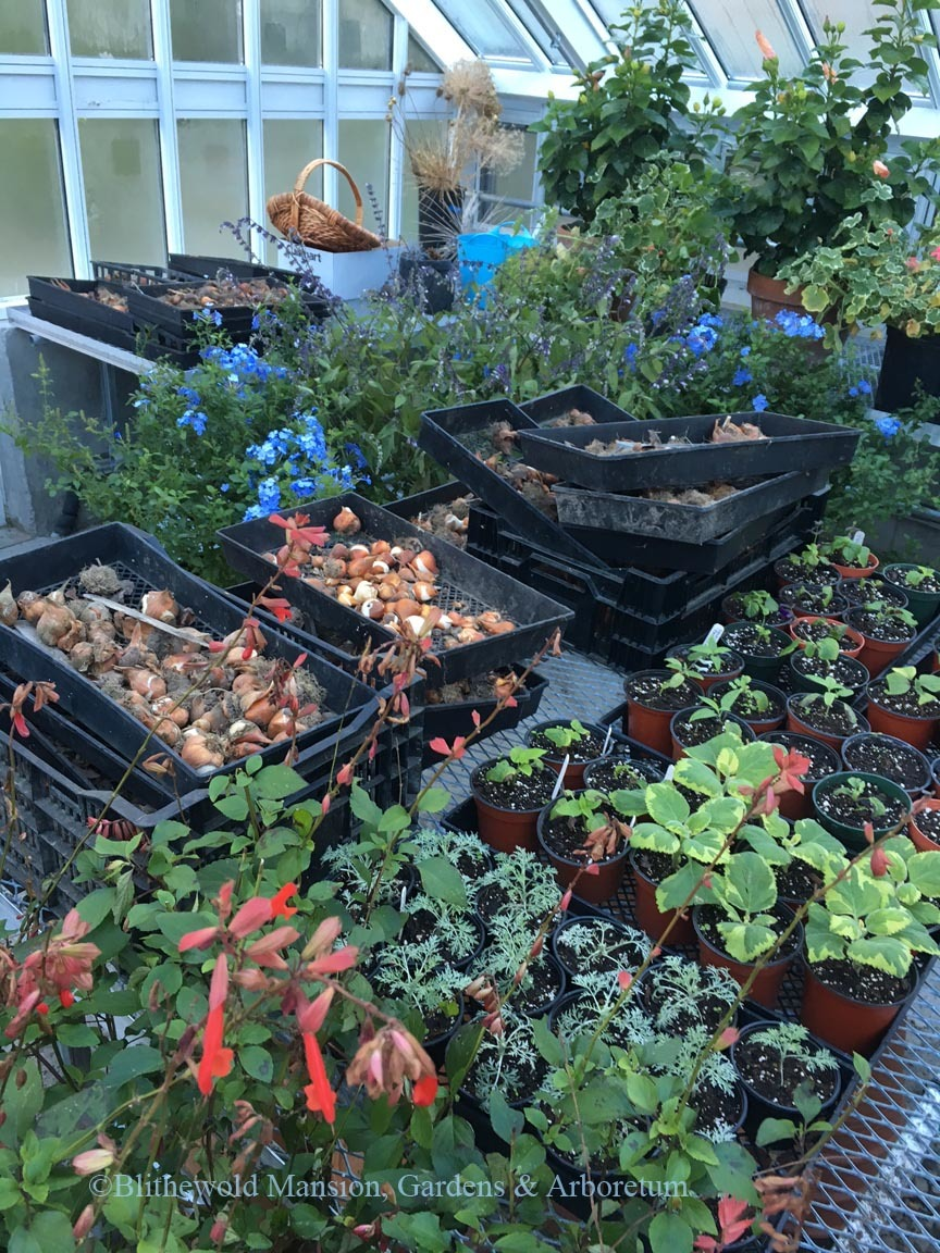 Stock plants, cuttings, container plants, tulips, and Christmas decorations all in the same space.