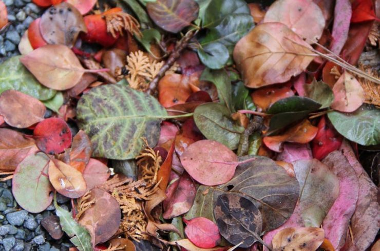 Multi-colored leaves along the gravel path