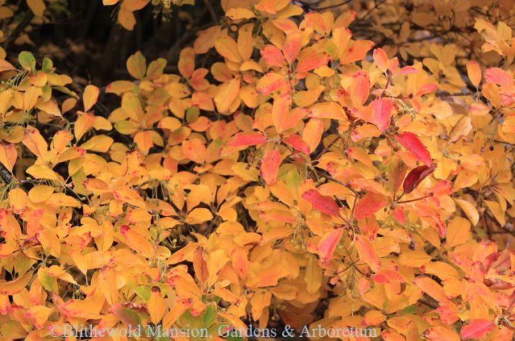 Redvein Enkianthus (Enkianthus campanulatus)