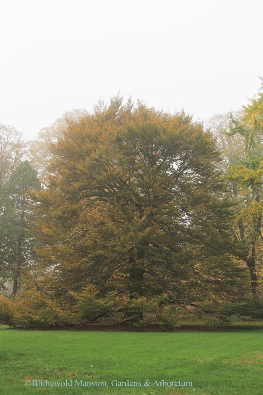 Cut Leaf European Beech tree
