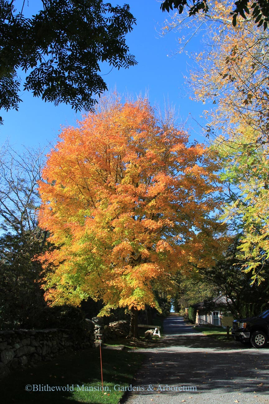 Sugar Maple (Acer saccharum) at the top of Lovers' Lane
