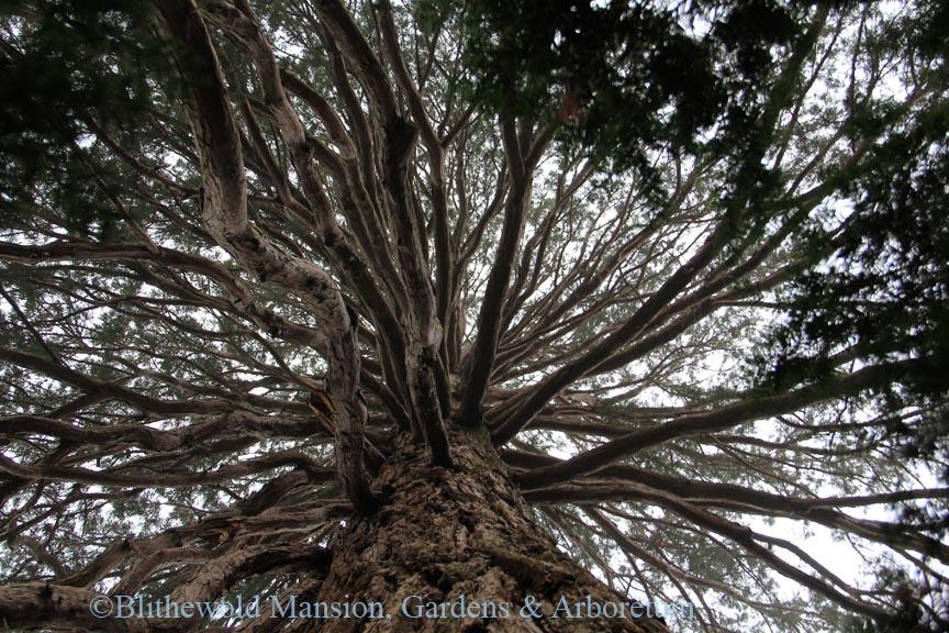 The view beneath the giant Sequoia (Sequoiadendron giganteum)