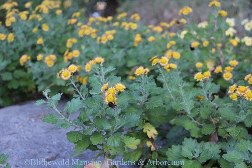 Chrysanthemum in the Rock Garden