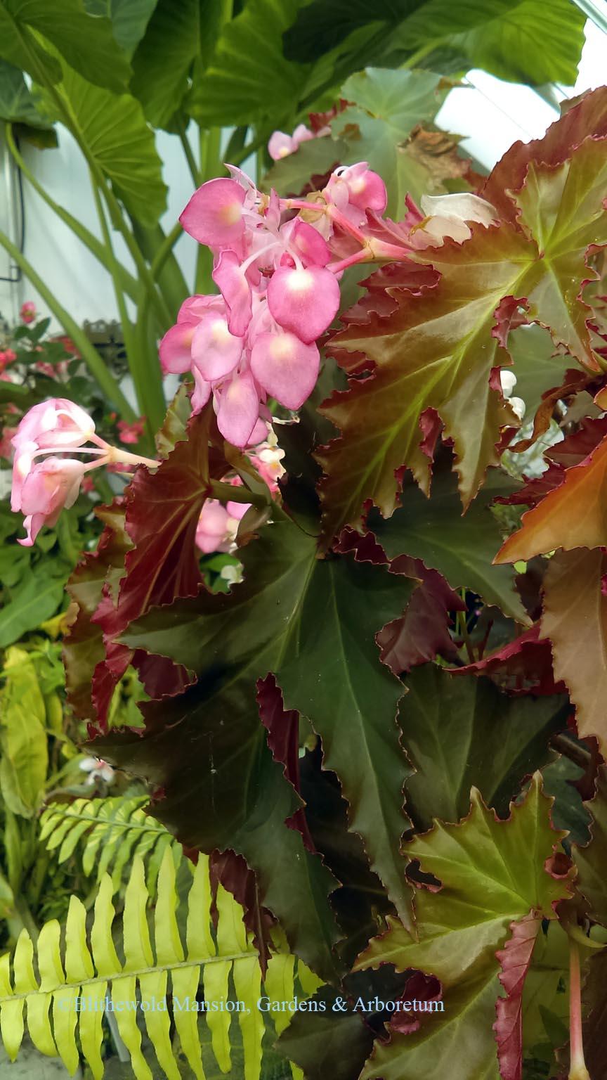 Begonia \'Anna Feile\' - Blithewold