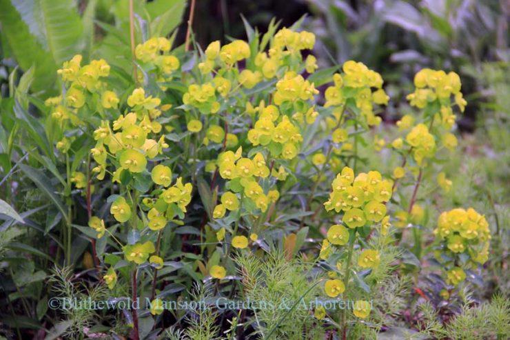 Wood Spurge Euphorbia Amygdaloides Craigieburn Blithewold